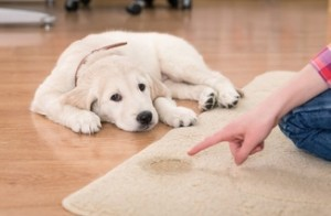 pet and odor removal cleaning